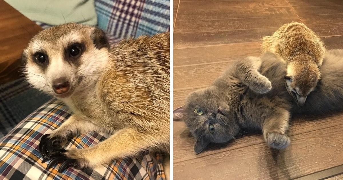 Суриката спасли из контактного зоопарка. Он дружит с котом и считает его вожаком, несмотря на разные характеры