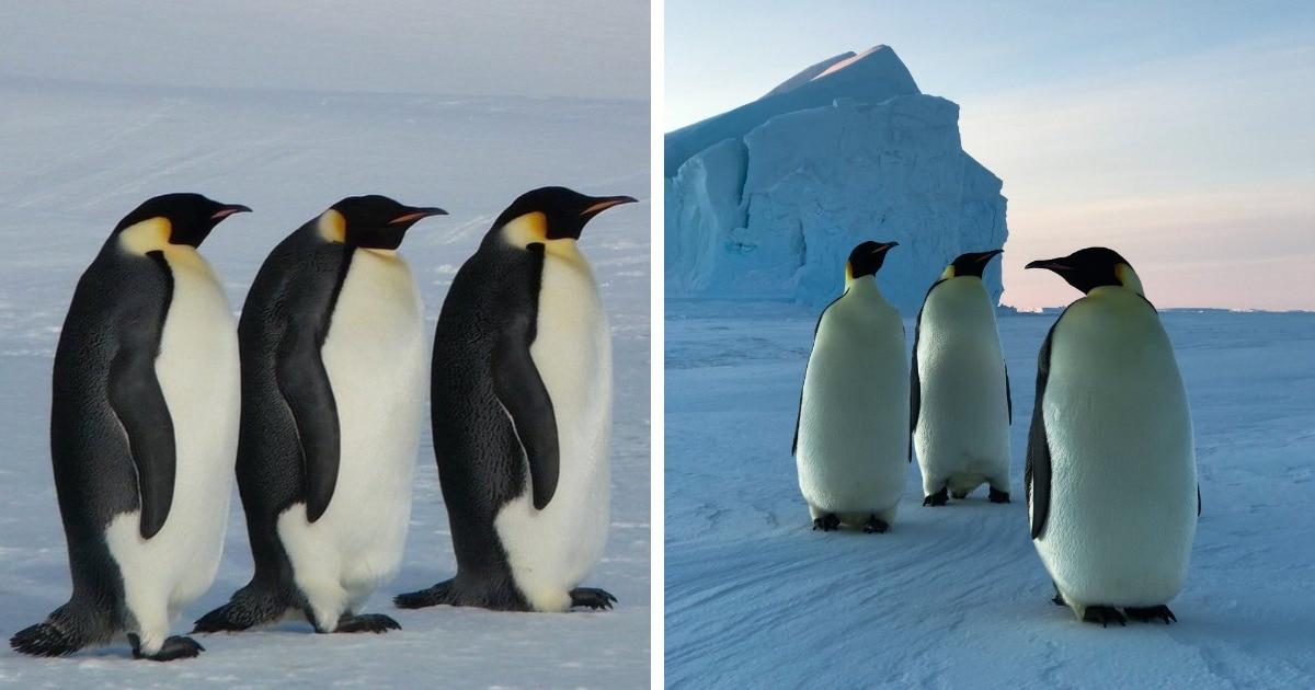 Фотограф заметил, что пингвины ходят по трое. В сети начали строить теории почему, но всё объяснил эколог