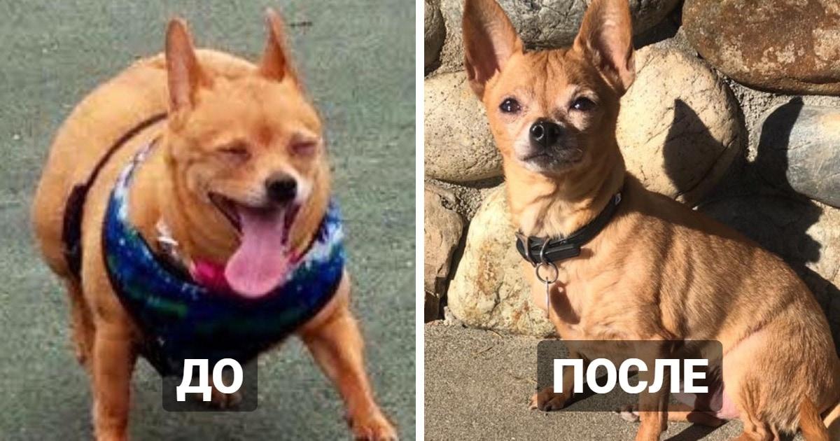 15 собак, которые успешно сбросили вес и из пухляшей превратились в стройняшек