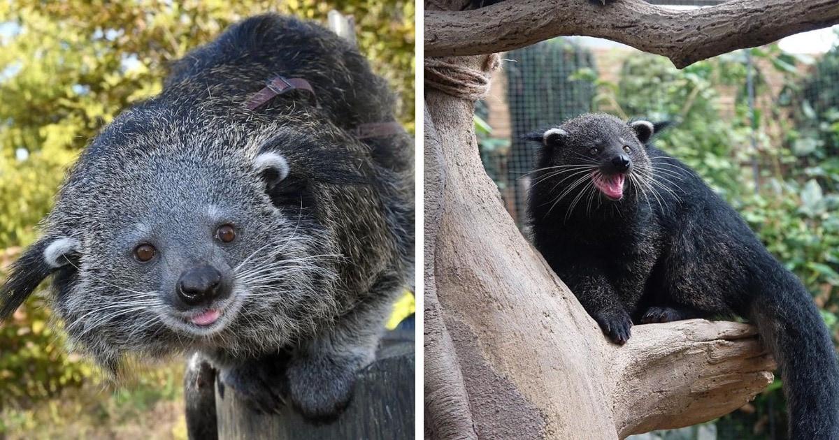16 фотографий бинтуронгов — «кошачьих медведей» из Азии, которые лазают по деревьям и пахнут попкорном