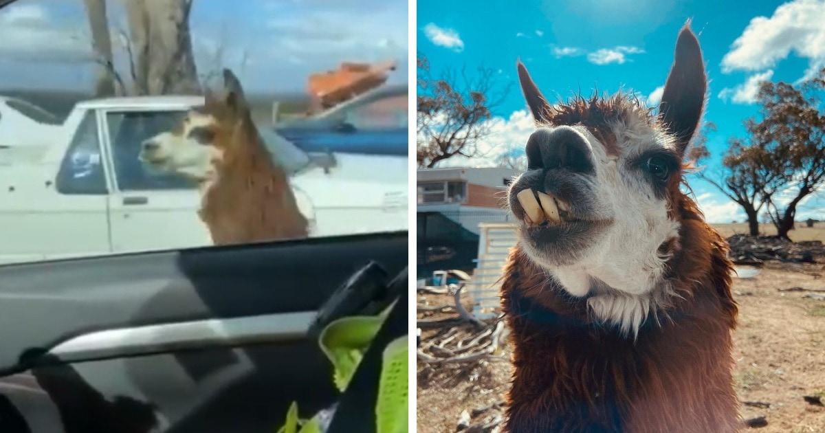 Полицейские из Австралии хотели провести обыск, однако против них встал зубастый парень Алан, и он — альпака