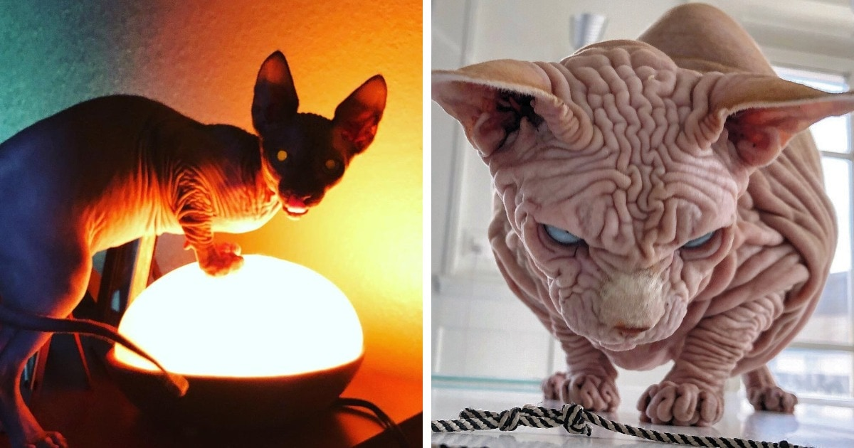17 доказательств того, что сфинксы — крайне забавные, но не самые фотогеничные кошки