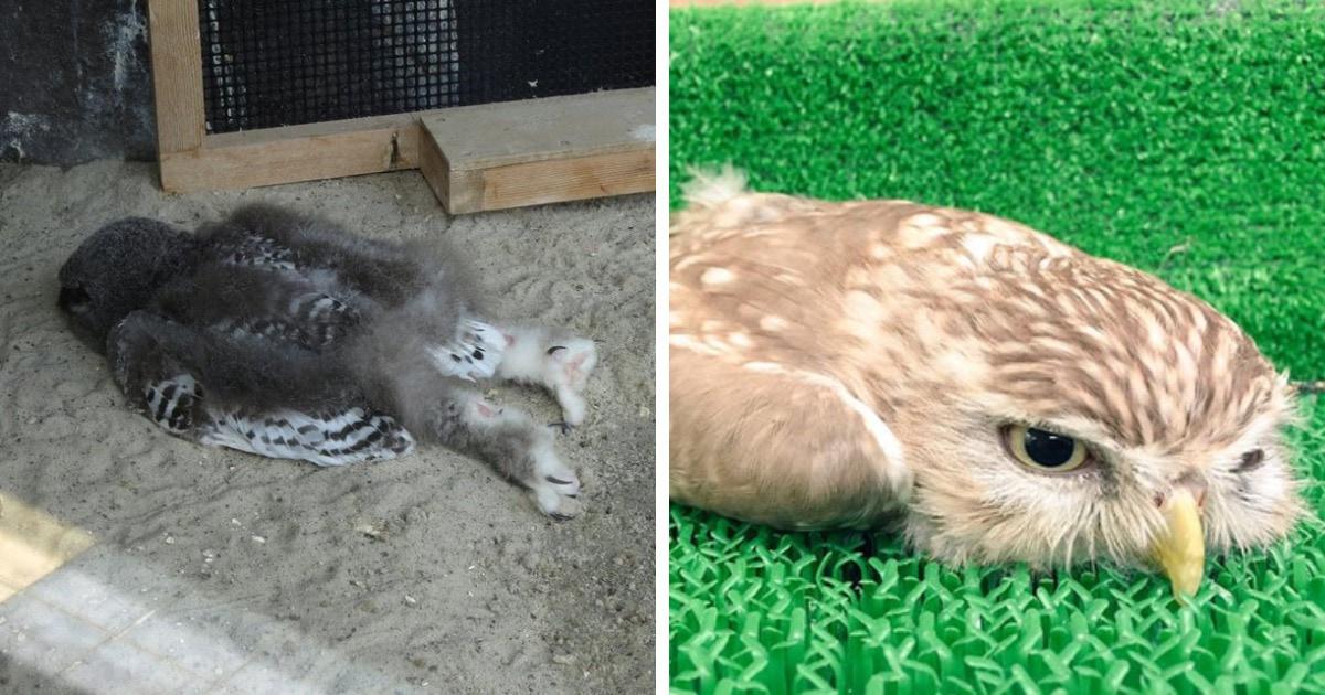 Пользователи сети обнаружили, что совята спят лицом вниз, и их фотографии — олицетворение конца рабочего дня
