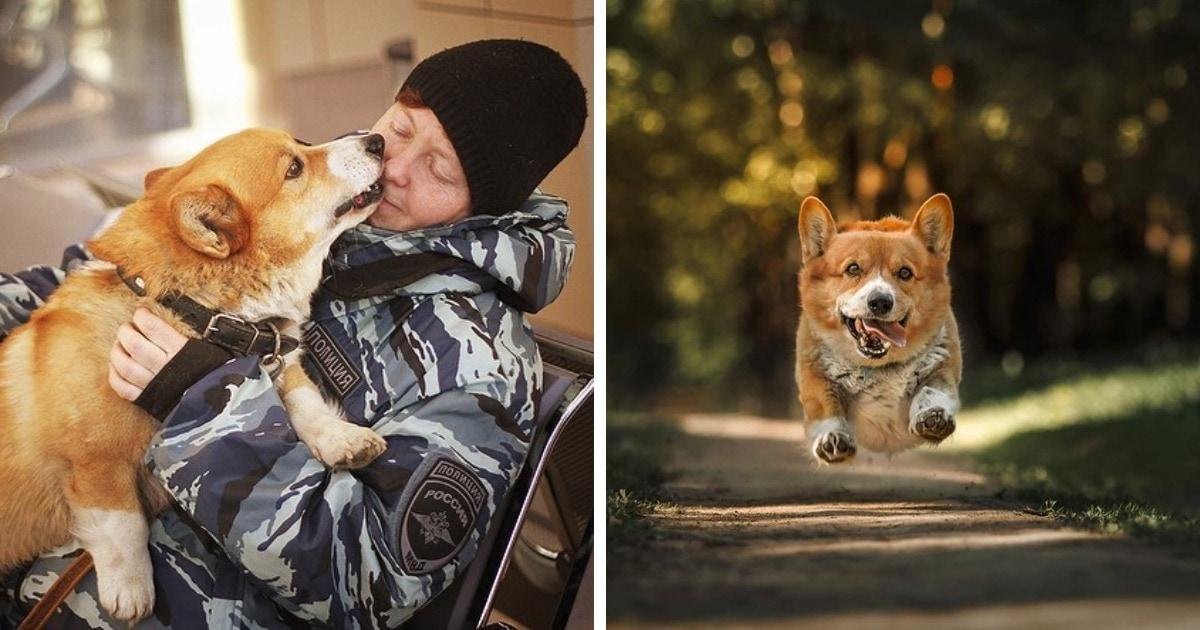 Короткие лапки, острый нюх и боевой характер: единственный в России корги-полицейский вышел на пенсию