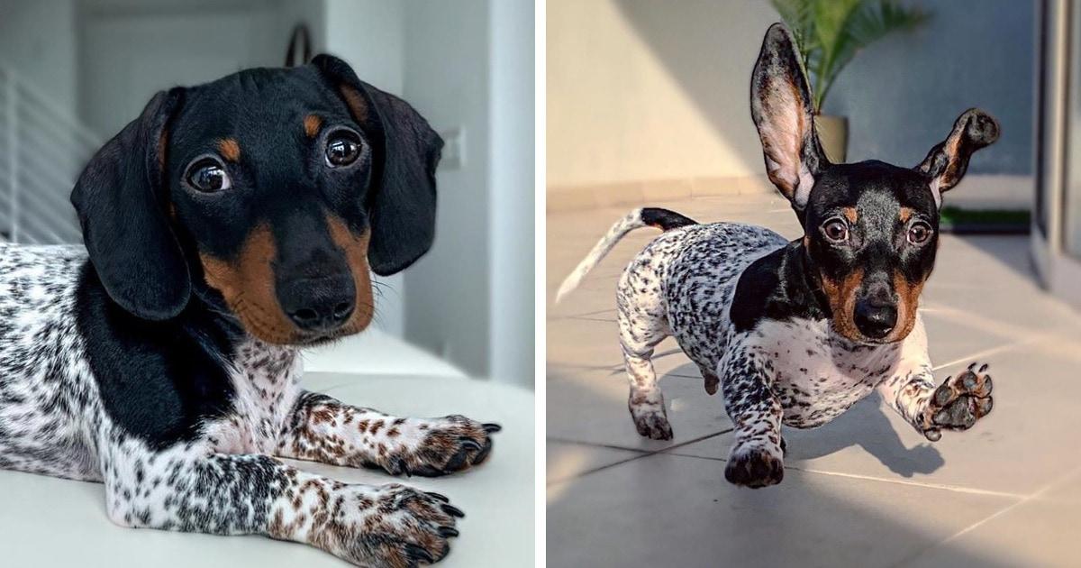 Пёс по кличке Му родился с таким окрасом, что люди считают, что он носит костюм — но это подарок природы