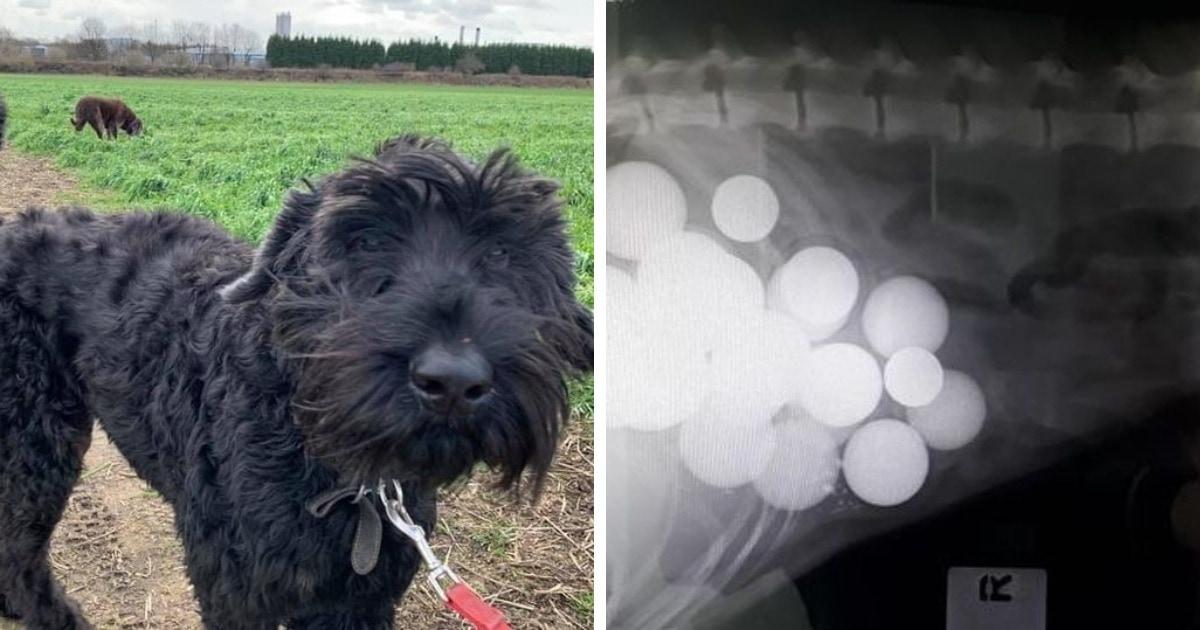 Хозяин выпустил пса погулять на поле для гольфа. Чем занимался пёс во время прогулки, показал рентген