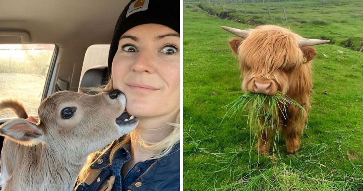 18 очаровательных фотографий коров, которые в своей милоте нисколько не уступают этим вашим котикам