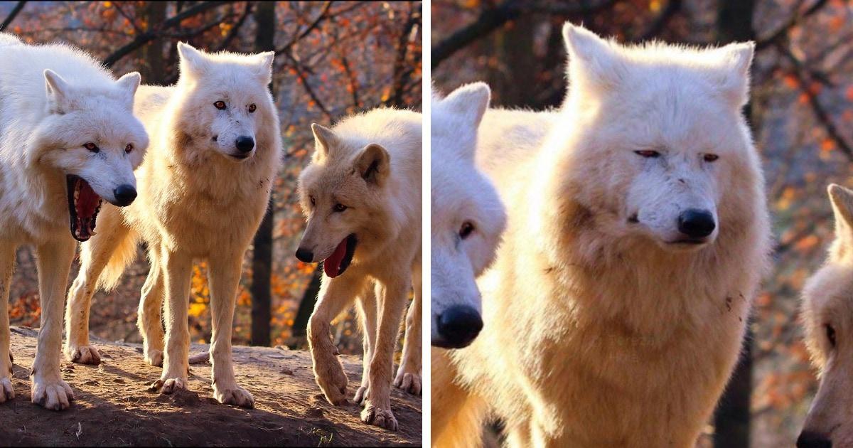 Новый мем с тремя волками захватил интернет! И это лучшее фото для описания ситуаций, в которых смешно не всем