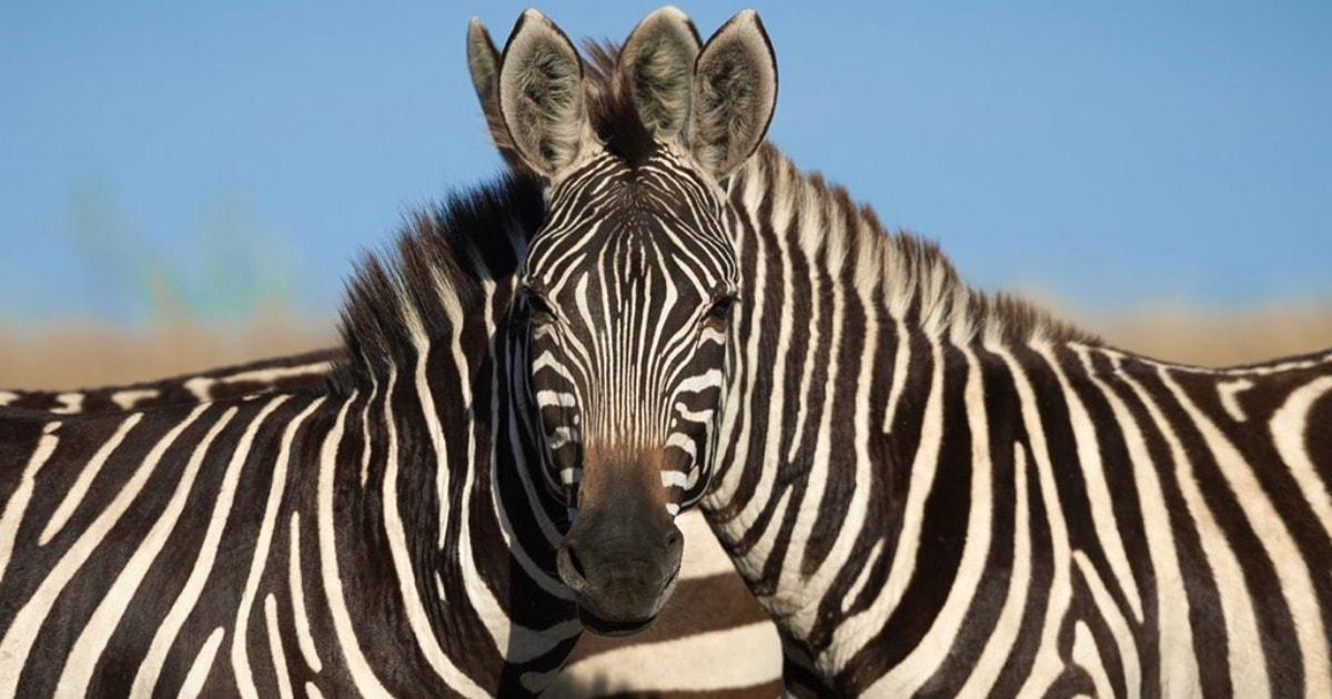 В сети появилось фото с оптической иллюзией: люди пытаются угадать какая зебра стоит впереди, и это спор века