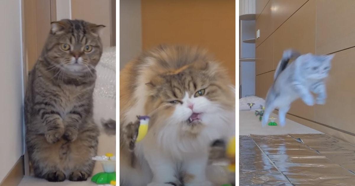 Семь котов с разными характерами прошли коварную полосу препятствий, и каждый показал свою индивидуальность