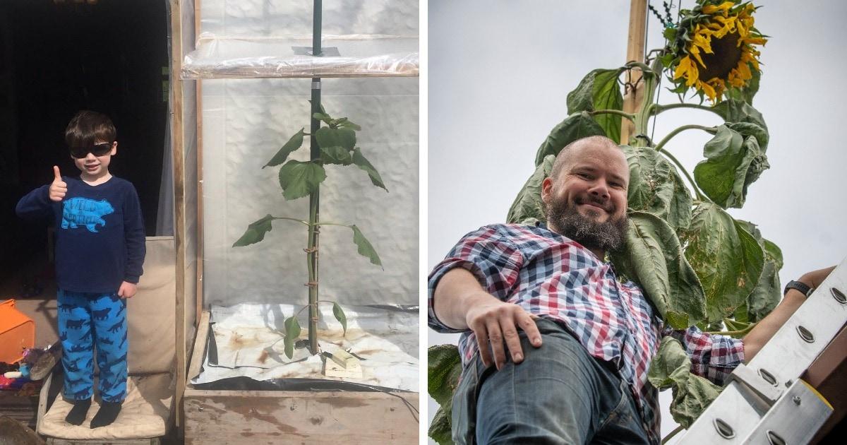 Сын попросил отца вырастить подсолнух-гигант. Он хотел, чтобы цветок был высотой с дом, но папа перестарался