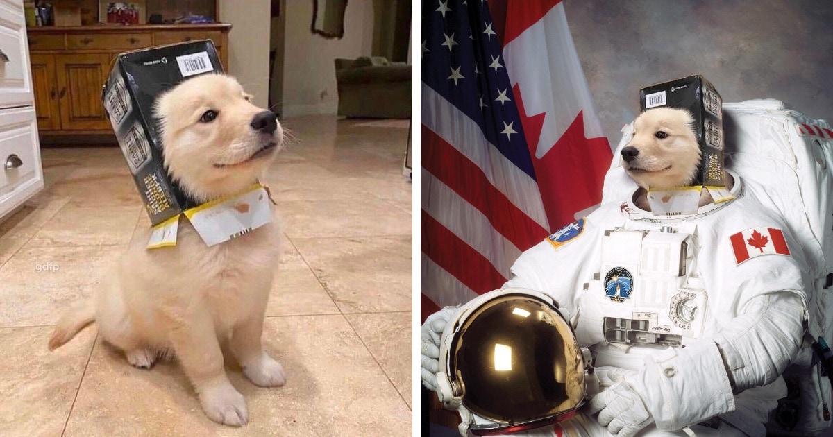 Пёс забрался мордой в коробку и был очень горд собой — настолько, что он и его «шлем» стали героями фотожаб