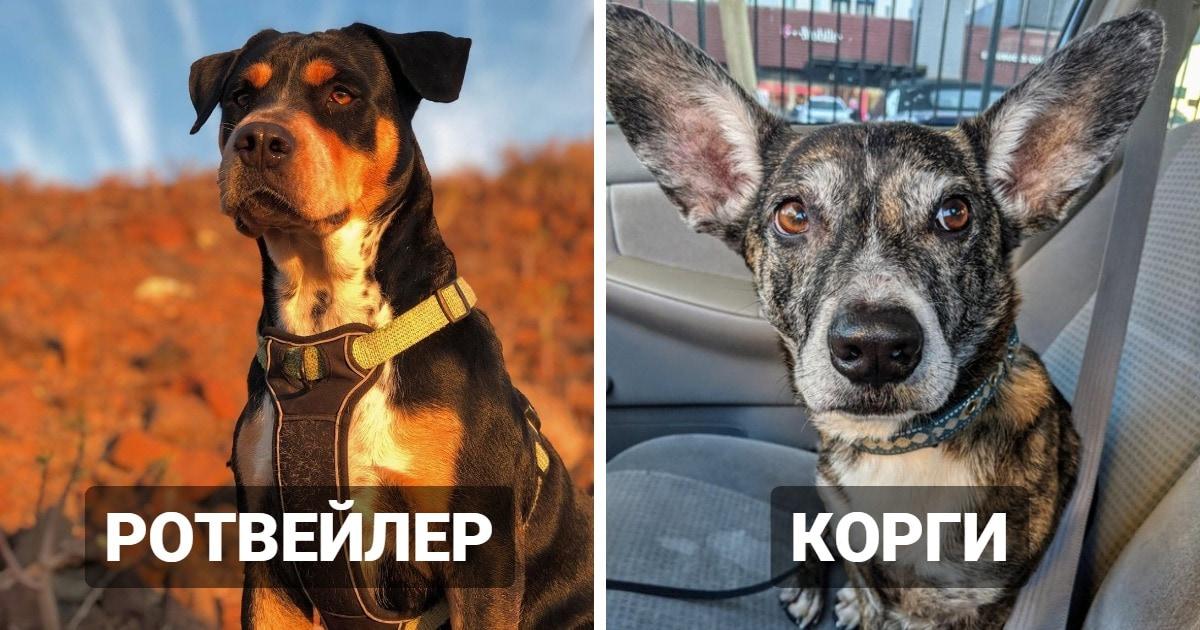 17 известных пород собак, которых скрестили с питбулем. И результат такого родительства — само очарование!