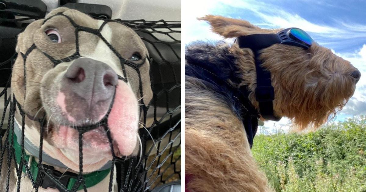 20 крайне уморительных собак, которые любую поездку в машине могут превратить в комедию