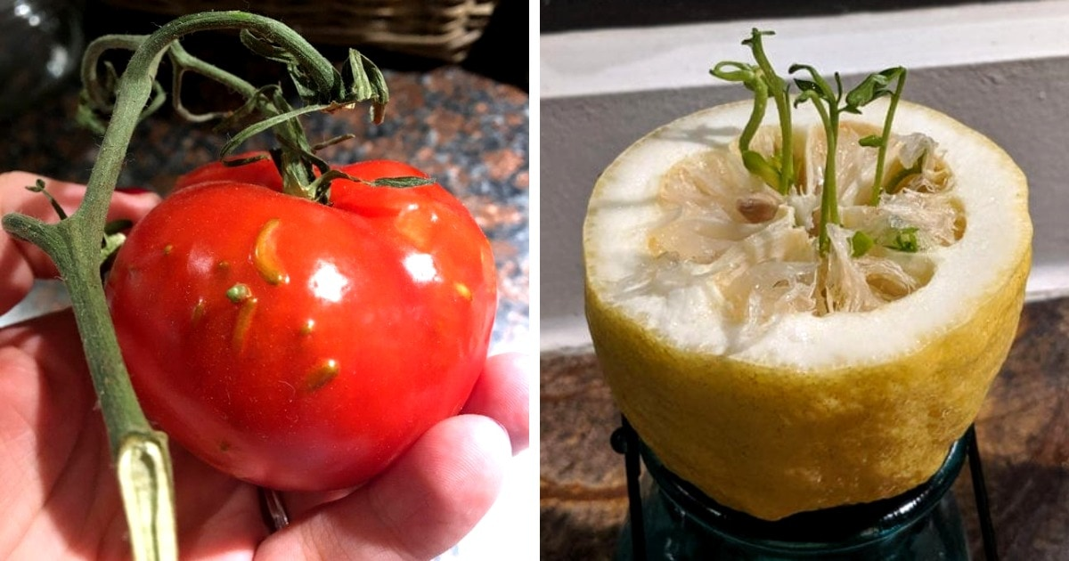 17 случаев, когда семена не стали ждать и проросли прямо внутри плодов. Выглядит и удивительно, и крипово
