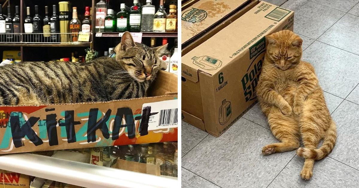 16 котов-продавцов, которые поселились в магазинах и чувствуют там себя как дома