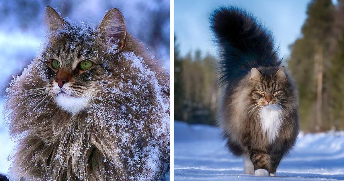 27 фотографий шикарных норвежских лесных кошек, которые огромны, пушисты и обожают снег