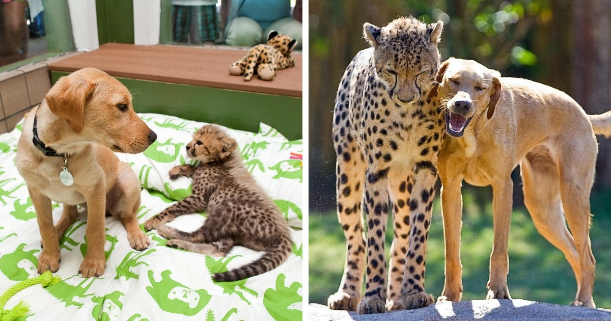 15 животных, которые с детства росли вместе и превратились во взрослых красавчиков, сохранив свою дружбу