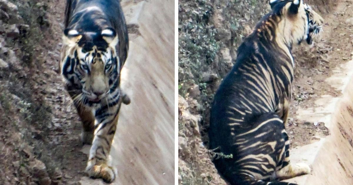 В Индии фотограф сумел заснял одного из 6-7 редких тигров. И этот зверь почти чёрный!