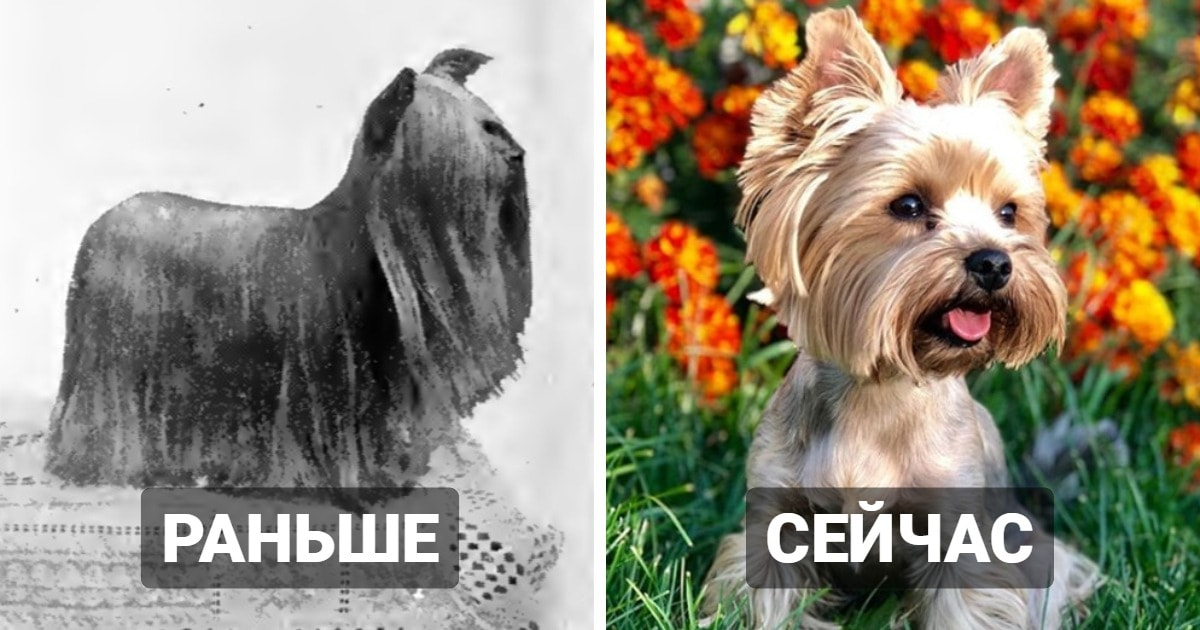 15 сравнений того, какими разные породы собак были более 100 лет назад, и как они выглядят сейчас