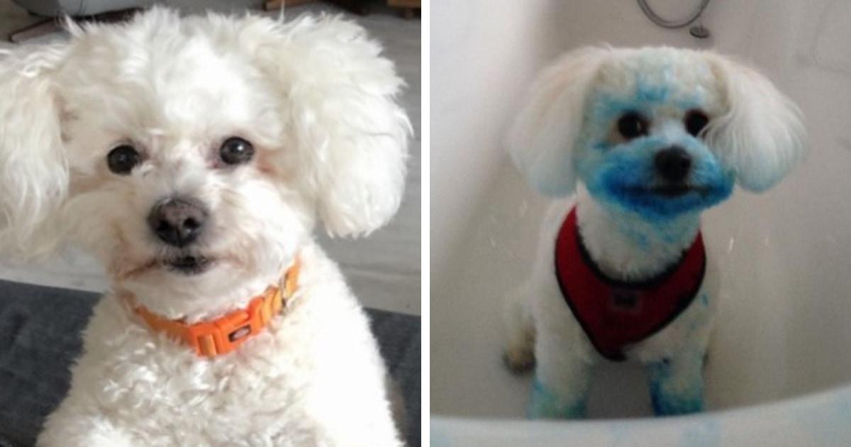 Собаке сделали стрижку за 40 фунтов, но всё зря. Ведь на следующий день она решила её испортить и стала синей