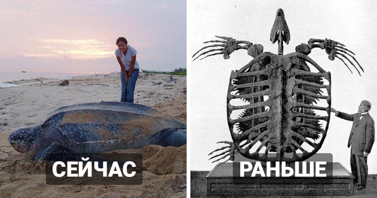 10 сравнений размеров современных гигантов и того, насколько большими были их вымершие родственники
