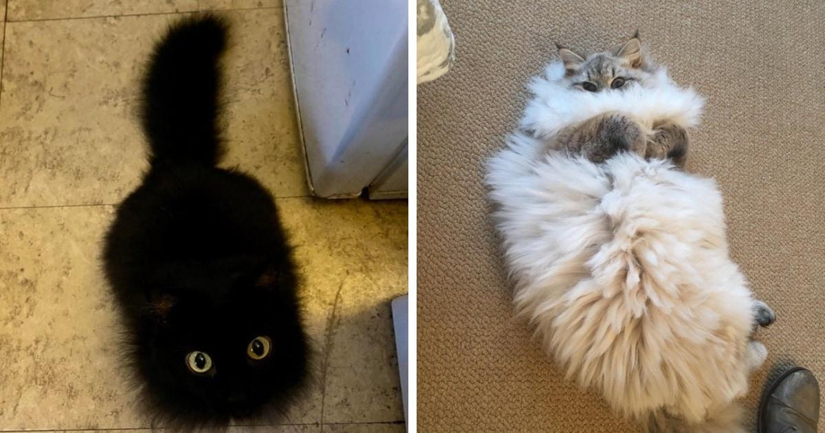 19 фотографий котиков, которые настолько пушисты, что как будто состоят из меха на 99%