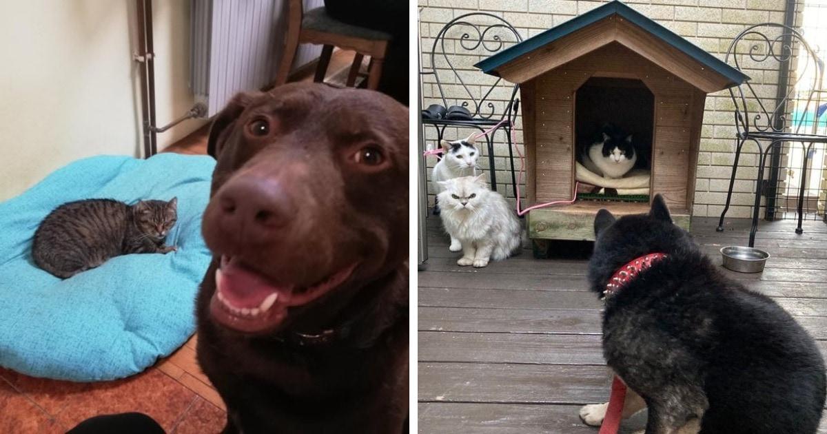 17 примеров вопиющей наглости, когда коты отнимали у собак их законные лежанки и не собирались раскаиваться