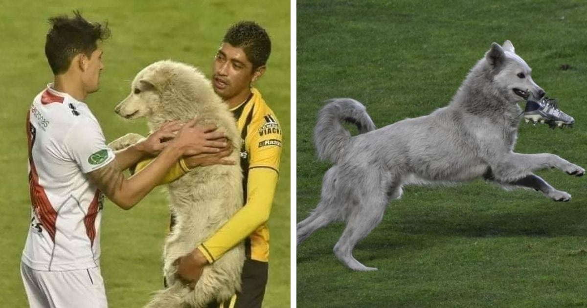 В Боливии бездомный пёс выбежал на поле во время матча и украл бутсу футболиста. И это помогло ему найти дом!
