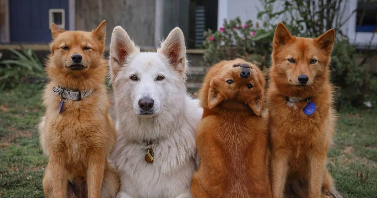 «Вызывайте экзорциста!»: финский шпиц поломался и позирует на всех фото так, как живая собака делать не должна