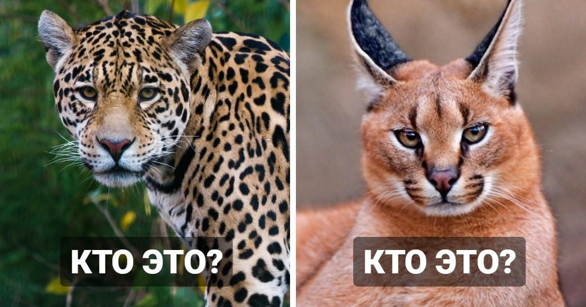 Тест: Насколько хорошо вы разбираетесь в диких кошках?