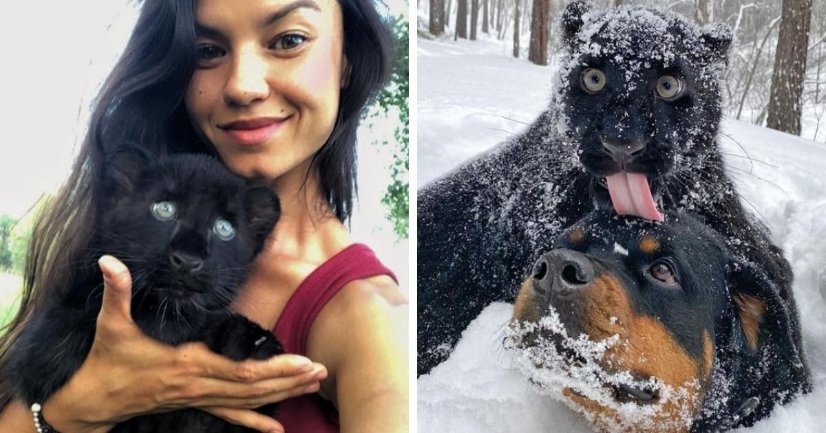 Чёрную пантеру выкупили из зоопарка. Теперь она живёт в Сибири, бегает по снегу и дружит с ротвейлером