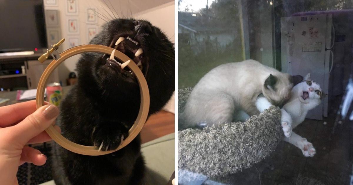 17 котиков, которые обожают пускать в ход свой грозный кусь, но это зрелище вызывает лишь смех и умиление