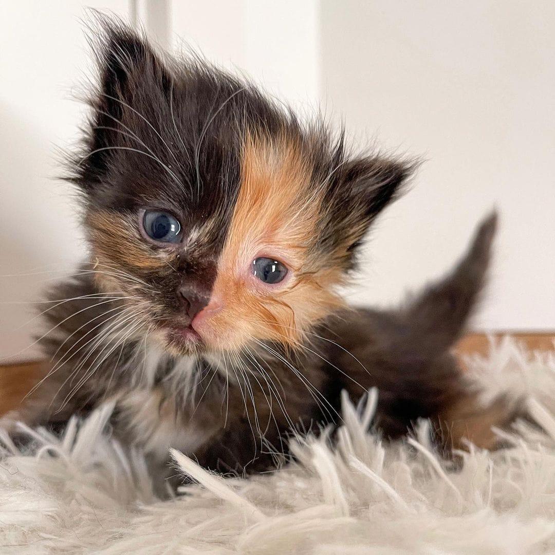 Пара спасла от гибели крошечного котёнка, оставленного на улице. И его уникальный окрас покоряет сердца!