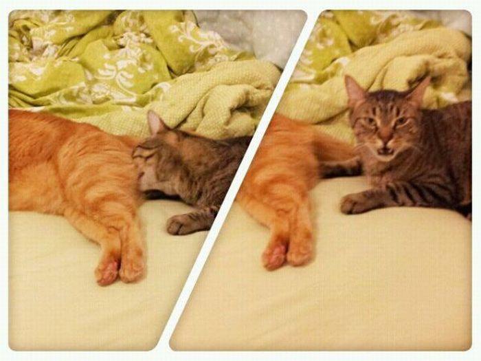 16 забавнейших котов, чья нелепость не позволяет их хозяевам хоть на минуту выпустить камеру из рук