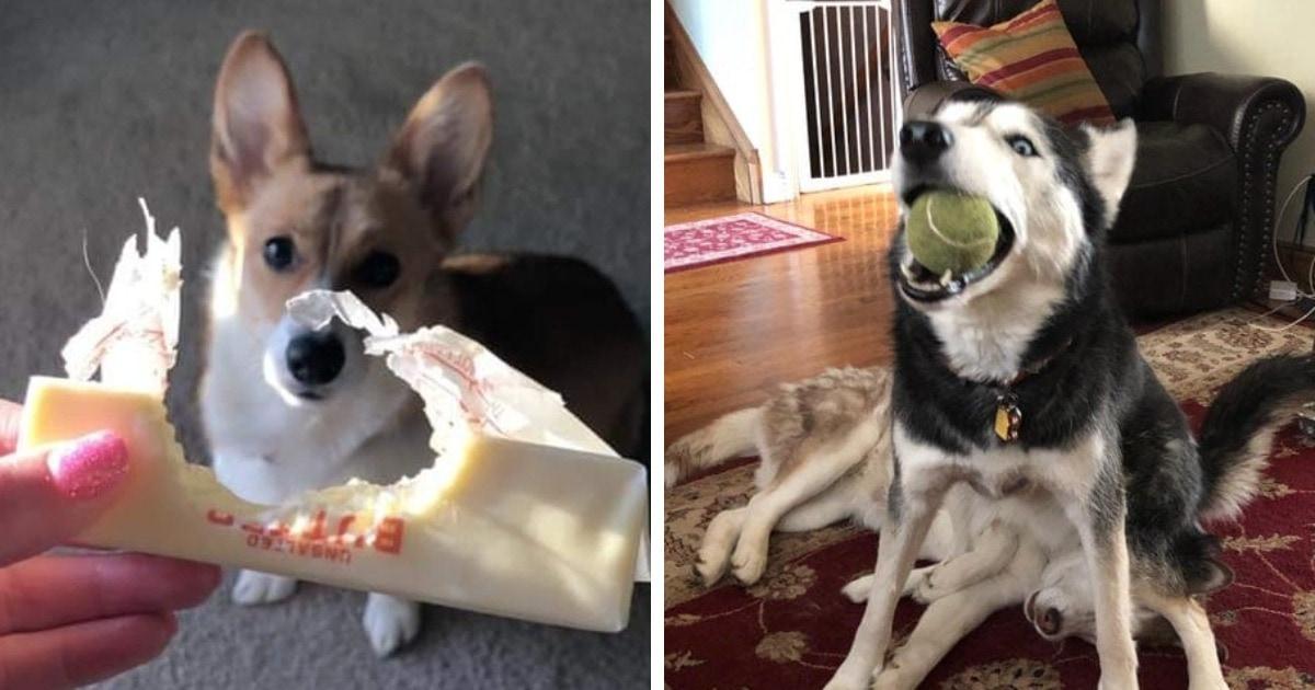 15 собак, которые пытались быть паиньками, но с треском провалили эту задачу