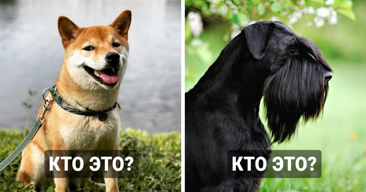 Тест: Сможете ли вы угадать породу собаки по фотографии?