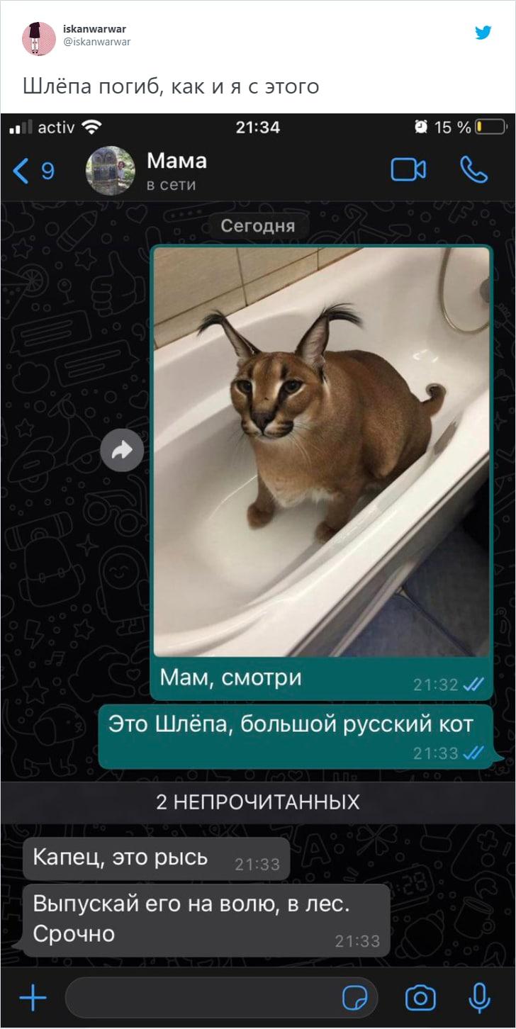 «Мама, это Шлёпа, большой русский кот»: как каракал стал героем соцсетей и почему его фото шлют родственникам