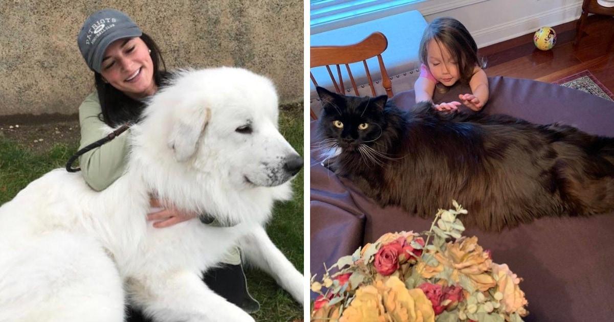 15 огромных собак и котов, которые своими размерами показывают, что хорошего питомца должно быть много