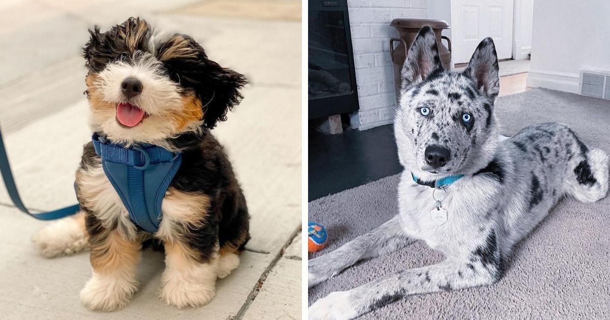 18 очаровательных собак-метисов, которые собрали в себе всё самое лучшее от своих родителей